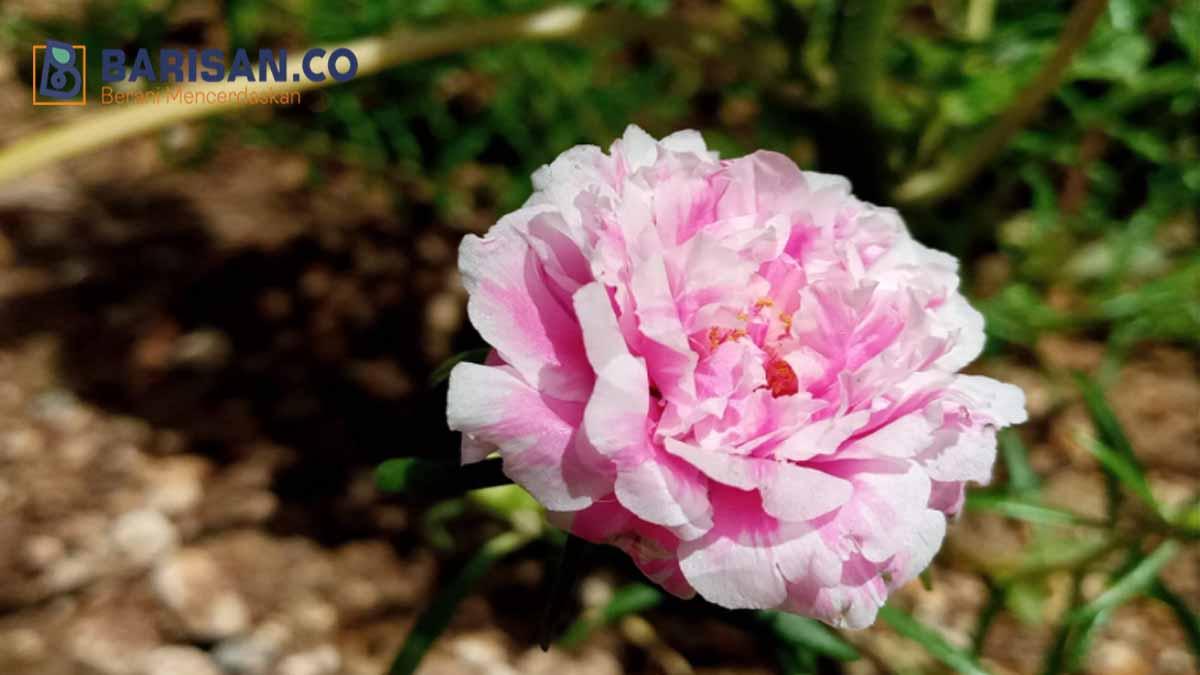 Revolusi bunga
